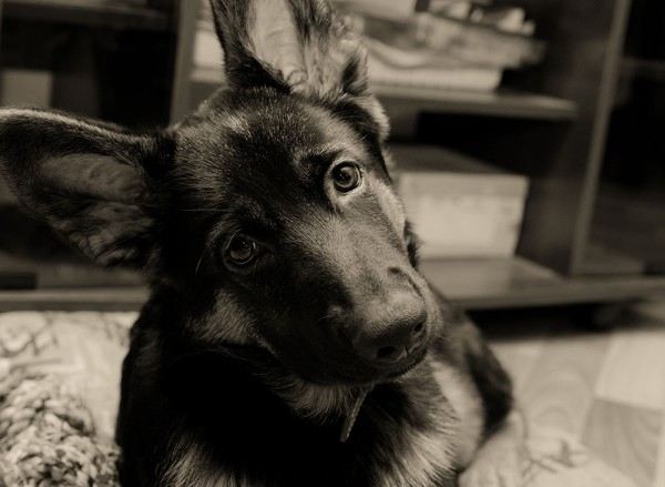 Cute German shepherd puppy with long ears and head tilted (in sepia, retro style, with focus on the eyes)